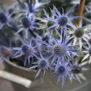 Karte: Blaue Disteln, Blumenmarkt St.Gallen
