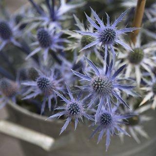 Faltkarten: Blaue Distel, Blumenmarkt St.Gallen