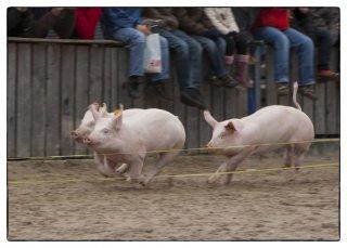 Postkarte: OLMA-Schweinerennen