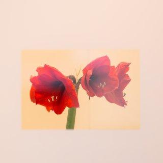 Faltkarten: Amaryllis