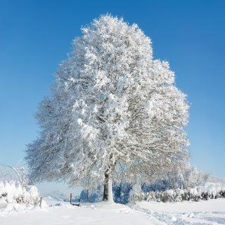 Faltkarten: Frisch verschneite Linde auf dem Kapf